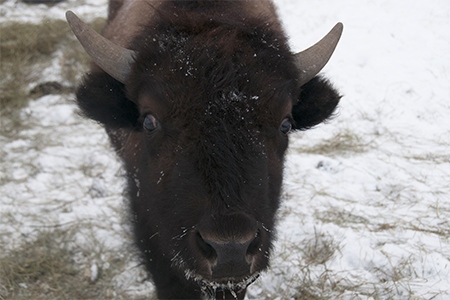 a bison in the snow