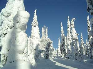 snow-covered fir trees in Finland