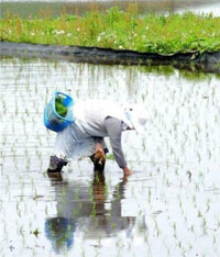 Japanese worker harvesting rice